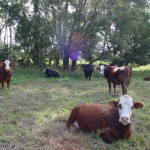 cows at farm 4